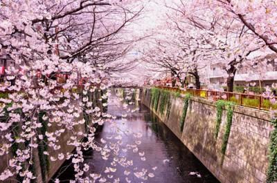 Spring in japan sakura cherry trees punipunijapan for Sakura albero