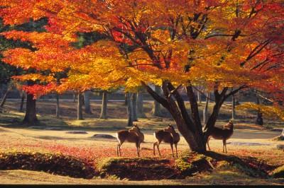 nara park autumn